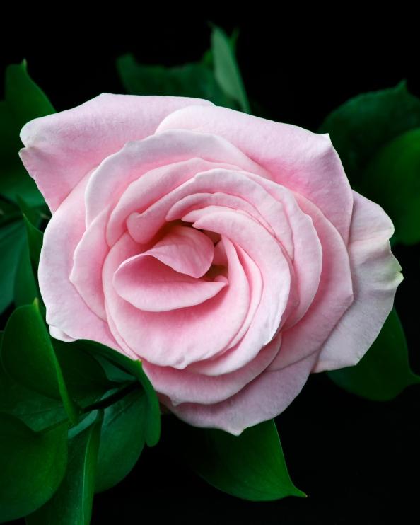 roseps2