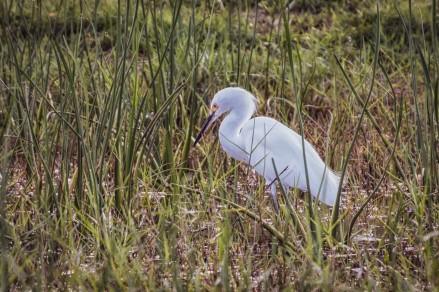 white heron-3
