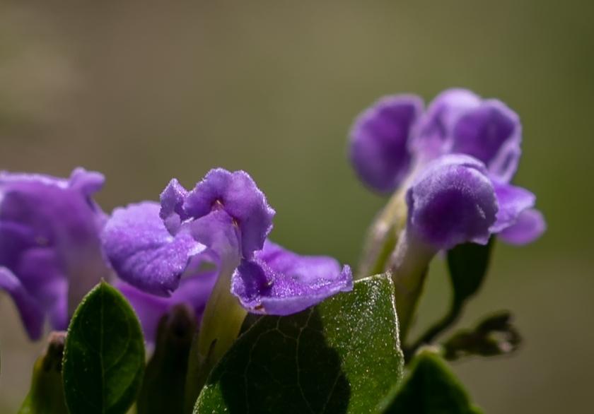 pupleflower-2