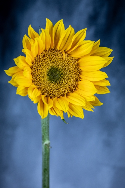 sunflower-7767