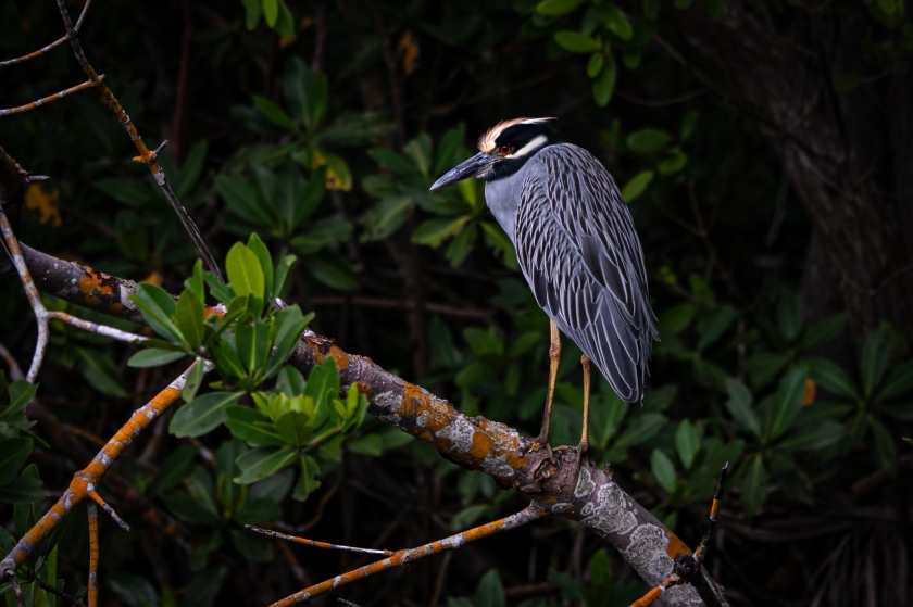 night heron2-9624