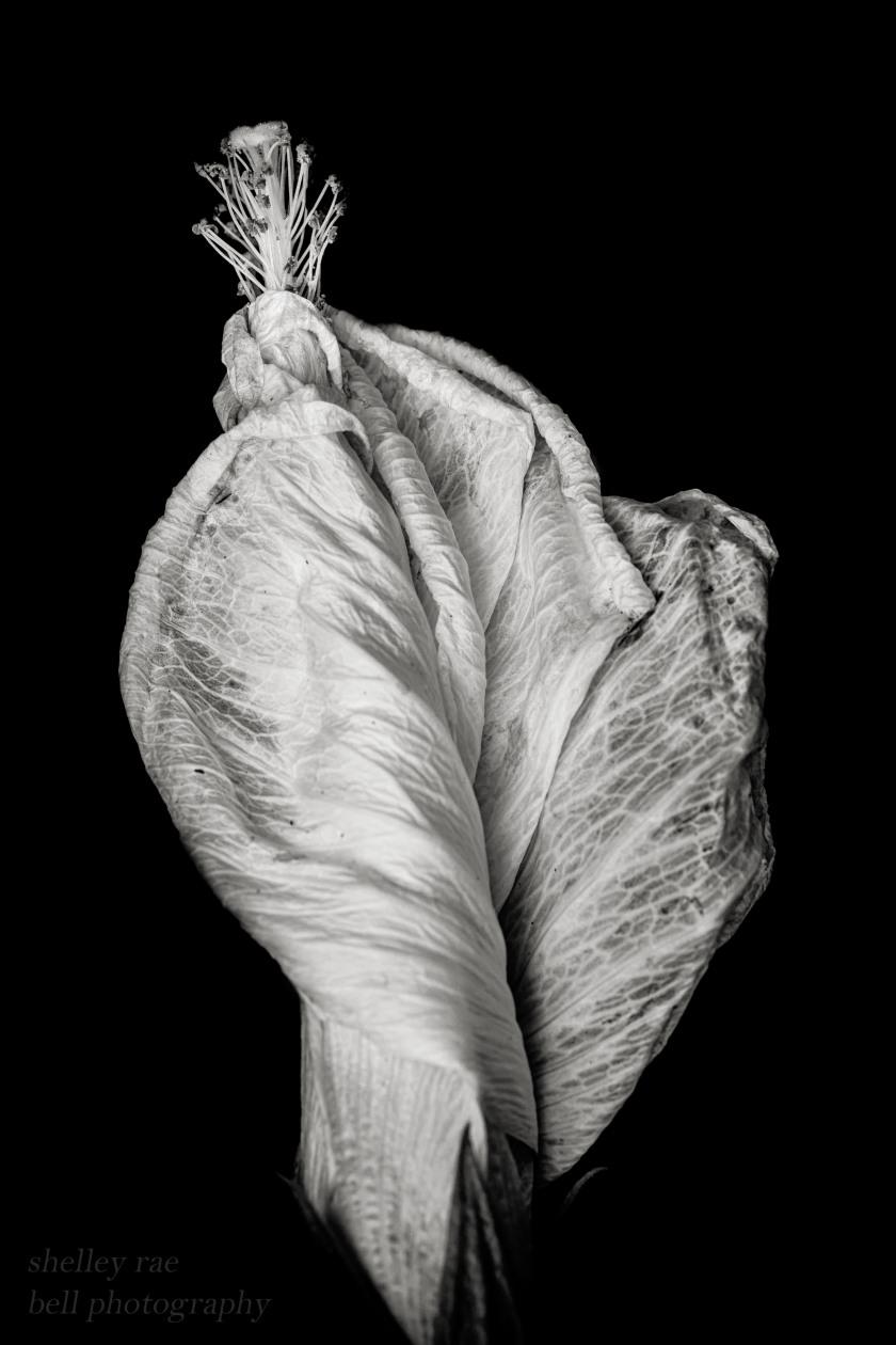 hibiscus curled2-wm